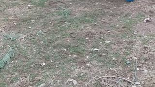 Turkey With Some Soccer Skills