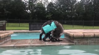 Adorable Baby Raccoon Plays in the Pool - Video