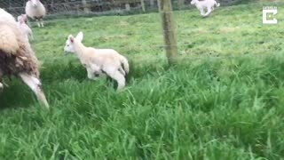 This Adorable Lamb Was Born With An Extra Leg - Video