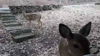 Whitetail Deer: Fawns in Training