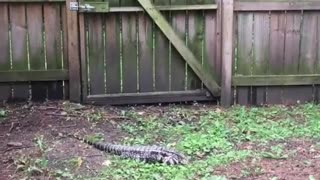 Giant Tegu Lizard Captured in Backyard