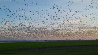 Snow Geese Take Flight - Video