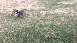 Gray dog running in slow motion  - Video
