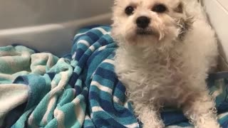 White dog sitting on blue towel being blow dried - Video