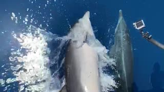 These crazy dolphins ride alongside speeding boat for the camera