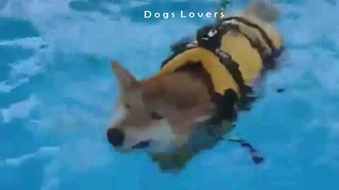 Dog learns To Swim in Swimming Pool