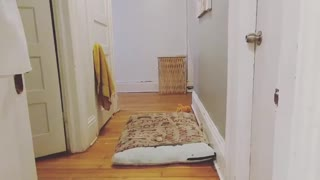 Black dog running left and right back and forth in hallway - Video