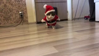 Very funny cat in Santa Claus costume  - Video
