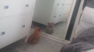 Small brown dog looking at itself in the mirror  - Video