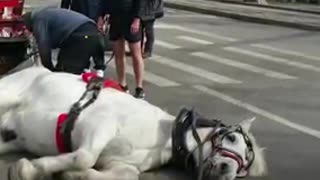 Carriage Horse Collapses On The Street After Being Pushed Too Hard - Video