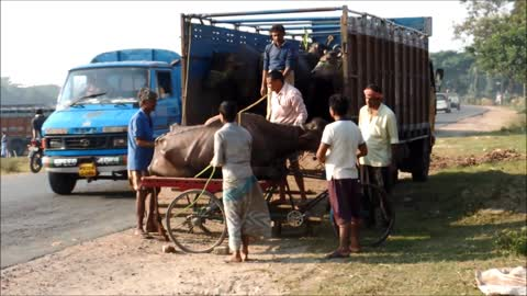 Villagers in India rescue a sick buffalo