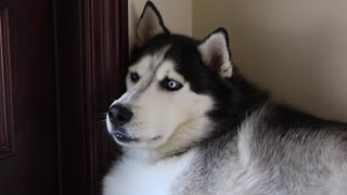 Husky reacciona a sonidos de huskies aullando - Video