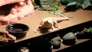 Bearded dragon eat moth hits glass