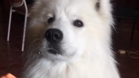 Samoyed learns to speak on command