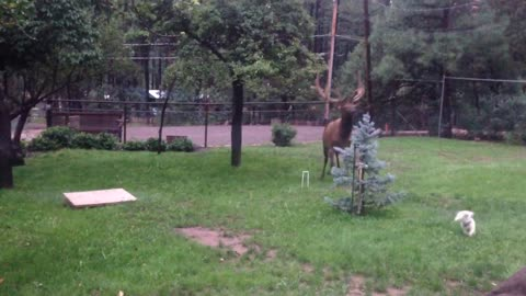 Elk and Dogs Playing in the Backyard
