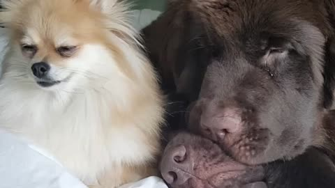 Adorable snuggle party for trio of dogs