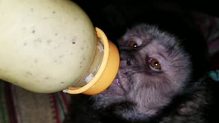 Capuchin Monkey Drinking a Baby Bottle  - Video