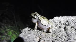 Up Close and Personal Frog Croaking - Video