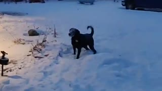 Doggy Plays Catch With Shovelled Snow