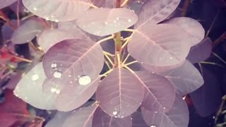 Oddly Satisfying. Slow Mo Rain drops on leaves - Video