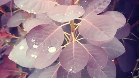 Oddly Satisfying. Slow Mo Rain drops on leaves