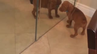 Brown dog with blue collar playing with itself in mirror - Video