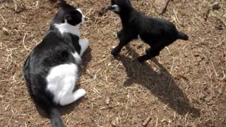 Tiny baby goat bonds with friendly cat - Video