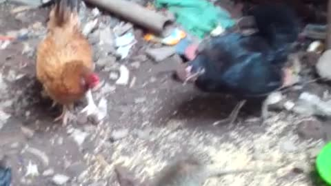 see this video hen dont like rat to eat his food and attack on rat