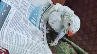 Baby parrot loves how good the newspaper tastes