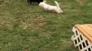 Dog running around in circles and chasing cat