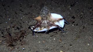 Octopus Uses a Shell for Shelter