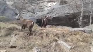 Beautiful markhor  - Video