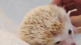 hedgehog sitting on my bed - Video