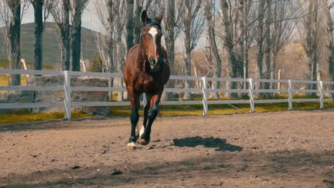 Brown Arabian horse running (slow motion)