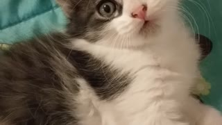 Kitten messes with camera
