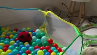 Ferrets Playing Together in a Ball Pit
