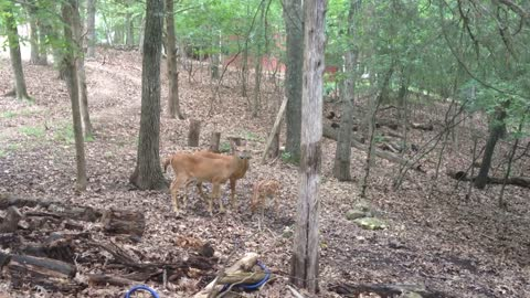 Deer and fawn grooming in the woods.