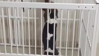 Beagle cat play pen cat struggles