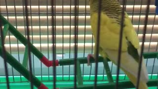parrot is singing  - Video