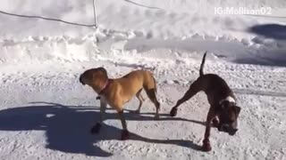 Brown dog wearing snow boots and walking funny - Video