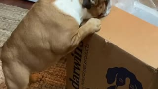 Bulldogs get very excited for food delivery