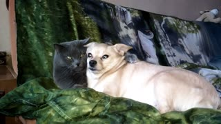 The dog has very strongly taken offense at a cat.  - Video