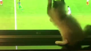 White cat chasing soccer ball around tv