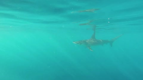 Man Spots Hammerhead Shark, Dives In To Get A Better Look