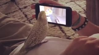 Cockatiel plays with video of himself.