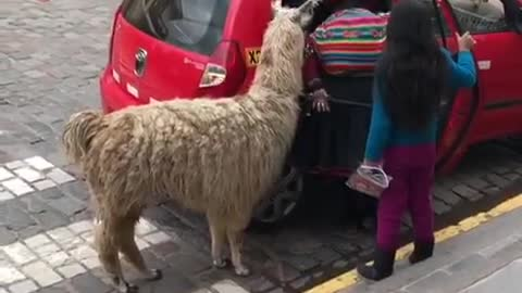 Pet llama climbs into tiny taxi