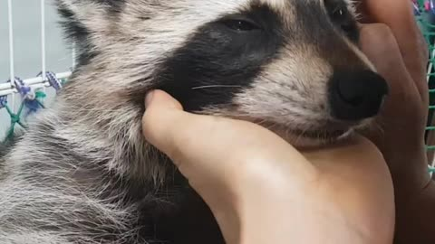 Mom loves raccoon
