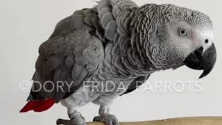 African Grey parrot shows off her tricks learned in quarantine