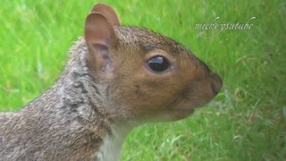 Squirrel eating raspberry