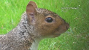 Squirrel eating raspberry - Video